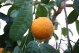 有機克萊蒙橙葉純露Organic Petitgrain Clementine Hydrosol