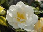 有機山茶籽油 Organic Camellia Oil