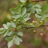 野生沉香籽精油 Wild Growth Linaloe Berry Essential Oil
