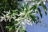有機檸檬馬鞭草純露 Organic Lemon Verbena Hydrosol