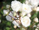 有機白玫瑰純露 Organic White Rose Hydrosol