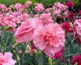 有機康乃馨純露 Organic Carnation Hydrosol
