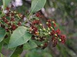野生檀香純露Wild Growth Sandalwood Hydrosol