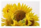 有機葵花籽油 Organic Sunflower Oil