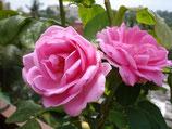 印度原生愛德華玫瑰純露 Indian Rose Edwards Hydrosol