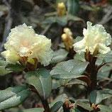 有機髯花杜鵑精油Organic Rhododendron Essential Oil