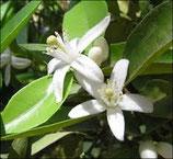 有機橙花純露 Organic Orange blossom (Neroli) Hydrosol