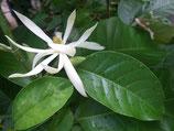 野生白玉蘭精油 Wild Growth White Michelia Essential Oil