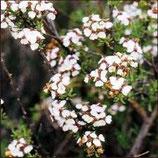 野生岬角甘菊純露 Wild Growth Cape Chamomile Hydrosol