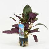 Kit plantes pour terrariums tropicaux et paludariums.