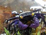 Geosesarma dennerle purple - crabe vampire x5