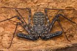 Damon medius - Araignée scorpion x2