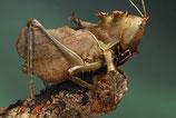 Eumegalodon spec. - sauterelle tête  de dragon