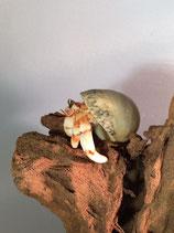Coenobita perlatus rouge et blanc