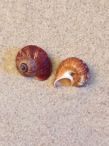 Brown Snail (small)