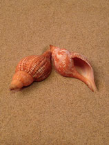 Tulipe Snail Orange (xl-jumbo)