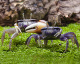 Uca tangeri - crabe violoniste - le couple