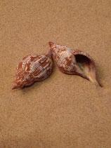 Tulipe Snail (xl-jumbo)
