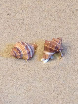 Crown Conch (small)