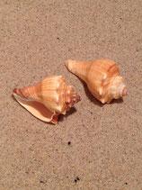 Fighting Conch (medium)