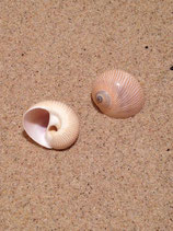 Lined Moon Snail (small)