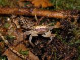 Metasesarma obesum - crabe marbre x5