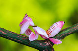 Hymenopus coronatus - mante orchidée