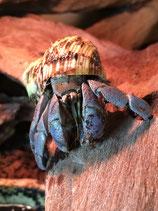 Coenobita Purpureus