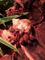 Coenobita brevimanus larges x2