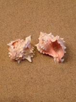 Pink Murex (medium-large)