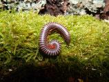 Spirobolus caudulanus x2