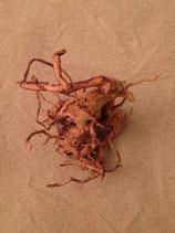 Racine araignée large (25-30cm)