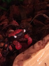 Crabe vampire RED CARNAVAL x4