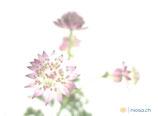 F22 Blumen - Sterndolde  - Postkarte