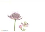F21 Blumen - Sterndolde  - Postkarte