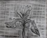 Schwertlilie