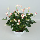 Anthurium  met pot
