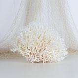 Bird's Nest Coral #3420
