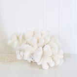 Cauliflower Coral  #5031