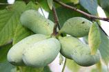 Pawpaw vruchten / fruit