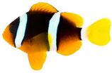 Amphiprion Clarkii - Clarks-Anemonenfisch, Goldflößchen
