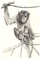 Macaque rhésus