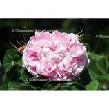 Rose abs. Krim