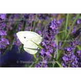 Lavendel Cuvée Bio