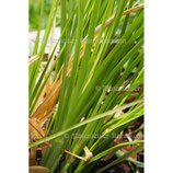 Vetiver normal