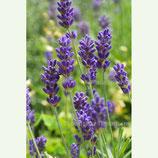 Lavendel bulgarisch