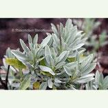 Salbei - Lavendel-Salbei BIO