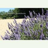 Lavendel normal