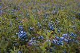 Bio-Waldheidelbeeren 380 mg Pulver 100g