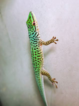 Phelsuma guttata / Gefleckter Taggecko